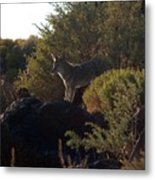 Coyote At The Petrogyphs 2 Metal Print
