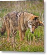 Coyote Metal Print by Carl Jackson
