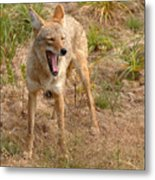 Coyote Caught In A Yawn Metal Print
