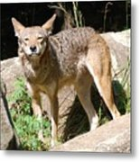 Coyote Grin Metal Print