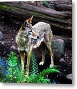 Coyote In Mid Stream Metal Print