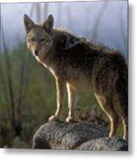Coyote In Ocotillo Trees Metal Print