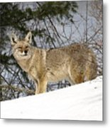Coyote In Winter Metal Print