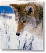 Coyote Listening  For Prey Metal Print