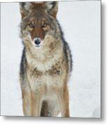 Coyote Looking At Me Metal Print