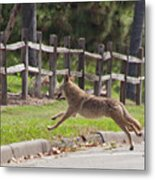 Urban Coyote Metal Print