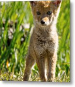 Coyote Pup Metal Print