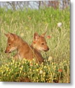 Coyote Pups Metal Print