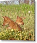 Coyote Pups Metal Print