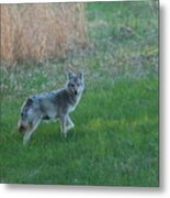 Coyote Stance  Metal Print