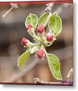 Crab Apple Buds Metal Print