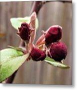 Crab-apple Tree Flower Buds Metal Print