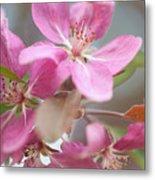 Crabapple Tree  Pink Flowers Metal Print