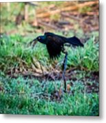 Grackle In The Morning  Metal Print