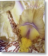 Cream And Purple Iris Metal Print