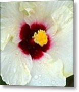 Creamy Hibiscus With Rain Drops Metal Print