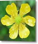 Creeping Buttercup Metal Print