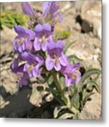 Crested Beardtongue Metal Print
