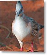 Crested Pigeon Metal Print