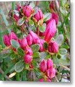 Crimson Azalea Buds Metal Print