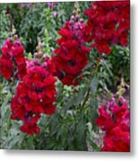 Crimson Snapdragons Metal Print