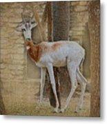 Critically Endangered Dama Gazelle Metal Print