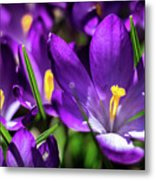 Crocus Amongst Us Metal Print