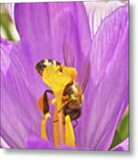 Crocus And The Bee Metal Print