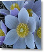 Crocus Blossoms Metal Print