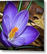 Crocus Emerging Metal Print