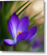 Crocus Light Metal Print