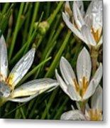 Crocus White Flowers Metal Print