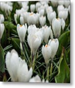 Crocuses 5 Metal Print