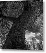 Crooked Oak Black And White Metal Print