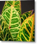 Croton Leaves In Profile Metal Print