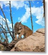 Crouching Cougar Metal Print