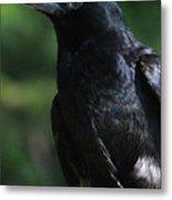 Crow-6870 Metal Print