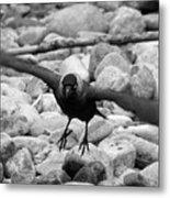 Crow Takes Off Metal Print