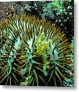 Crown Of Thorns In Pohnpei Metal Print