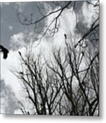 Crows In Cottonwoods Metal Print