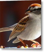 A Hungry Chipping Sparrow Metal Print