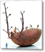 Cultivation On A Sweet Potato Metal Print