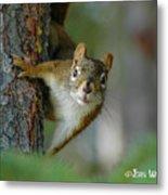 Curious Alaskan Red Squirrel Metal Print