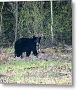 Curious Black Bear  Metal Print