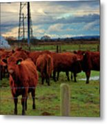 Curious Cattle Metal Print