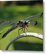 Curious Dragonfly Metal Print