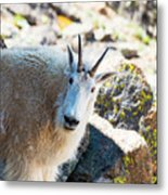 Curious Goat On The Mount Massive Summit Metal Print
