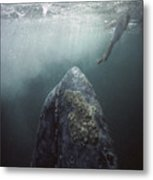 Curious Gray Whale And Tourist Metal Print