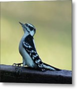 Curious Hairy Woodpecker Metal Print