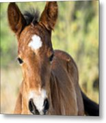 Curious Little Colt  Metal Print